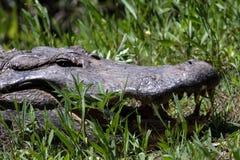 Großes Alligatorporträt Stockfoto
