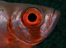 Großes Augenfische makro lizenzfreies stockbild