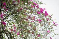Großes Bündel des rosa Bouganvillas im Frühjahr blühend Lizenzfreie Stockfotografie
