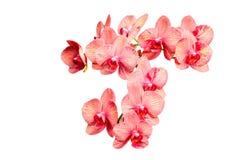 Großes Bündel empfindliche Blumen der rosa Tönungsorchidee Lizenzfreie Stockfotos
