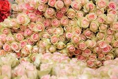 Großes Bündel hellrosa Rosen des Schnittes Lizenzfreies Stockbild