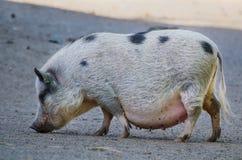 Großes Bauernhofschwein Stockbild