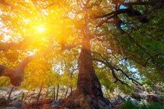 Großes Baumschattenbild und grüner hölzerner Sonnenlichthintergrund der Natur Lizenzfreie Stockbilder