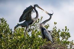 Großes Blau-Reiher, die ein Nest aufbauen stockfoto