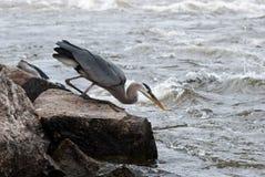 Großes Blau-Reiher-Fischen Lizenzfreie Stockfotos