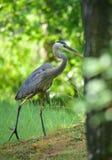 Großes Blau-Reiher Großer watender Vogel in Reiherfamilie Ardeidae Lizenzfreies Stockbild