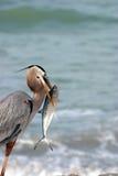 Großes Blau-Reiher mit Fischen lizenzfreies stockfoto
