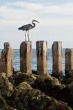 Großes Blau-Reiher-Vogel auf Pfosten stockfotografie