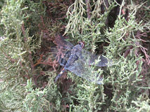 Großes blaues Abstreicheisen - Libellula-vibrans Libelle auf Strauch Lizenzfreie Stockfotos