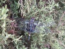 Großes blaues Abstreicheisen - Libellula-vibrans Libelle auf Strauch Stockfoto