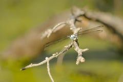 Großes blaues Abstreicheisen-männliche Libelle von der Front Stockbilder