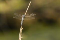 Großes blaues Abstreicheisen-männliche Libelle von der Front Lizenzfreies Stockfoto