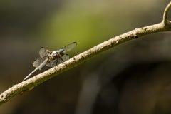 Großes blaues Abstreicheisen-männliche Libelle von der Seite Lizenzfreie Stockfotos