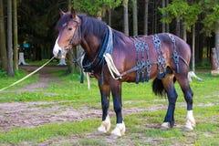 Großes braunes Pferd, das nahen Wald steht Stockfotos