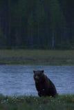 Großes Brown, das in einem finnischen Sumpf stillsteht Stockbild