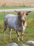 Großes Bull Lizenzfreie Stockfotografie