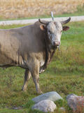 Großes Bull Stockfotos