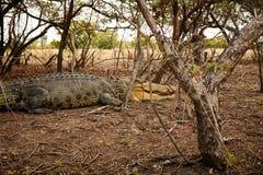 Großes Croc Stockfoto