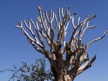 Großes Dragon Tree Central Namibia stockbilder