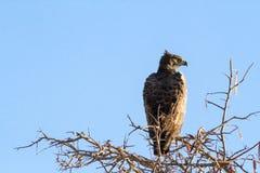 Eagle auf Baum Stockfotos