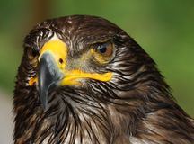 Großes Eagle mit dem gehakten Schnabel Stockfotos