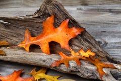 Großes Eichen-Blatt in Autumn Color Lizenzfreie Stockfotografie