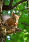 Großes Eichhörnchen, das auf einer Niederlassung der Kiefer in der Waldsonne sitzt Stockfoto