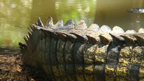 Großes Endstück des Krokodils stock footage