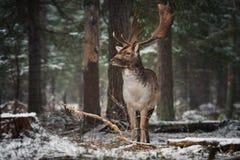 Großes erwachsenes edles Rotwild mit großen Hörnern steht unter den schneebedeckten Kiefern und dem Blick an Ihnen Europäische La stockbild