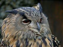 Großes Eulengesichtsporträt Blinzeln der Eule Owl Eye Lizenzfreie Stockfotografie