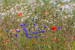 Großes Feld mit Mohnblumen und Kornblumen Stockfotografie
