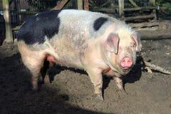 Großes fettes piggy Stockfotografie