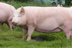 Großes fettes Sauschwein lassen auf Sommerweide weiden Lizenzfreie Stockbilder