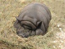 Großes fettes Schwein stockbild