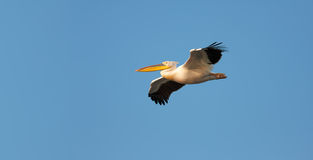 Großes Flugwesen des weißen Pelikans gegen blauen Himmel lizenzfreie stockbilder