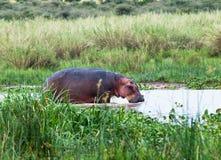 Großes Flusspferd, das im Wasser steht  Lizenzfreies Stockbild