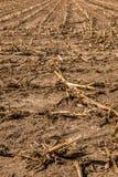 Großes geerntetes Maisfeld mit braunem Boden lizenzfreie stockfotos