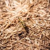 gro e schwarze fliege mit goldenen fl geln stockfoto bild von schwarzes insekt 70727274. Black Bedroom Furniture Sets. Home Design Ideas