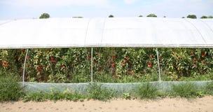 Großes Gewächshaus für die Bearbeitung von roten Tomaten in einem Mediterr Lizenzfreie Stockfotografie