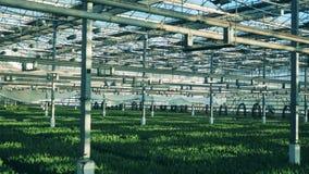 Großes Gewächshaus voll von wachsenden Tulpen mit Blättern im Boden stock footage