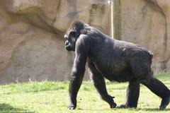 Großes gorila, das über das Gras geht Stockfotografie