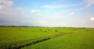 Großes Grün archiviert in den Niederlanden stock video footage