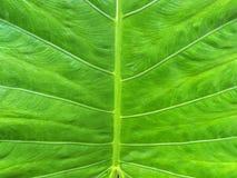 Großes grünes Blatt Stockbild