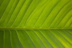 Großes grünes Blatt stockfotos