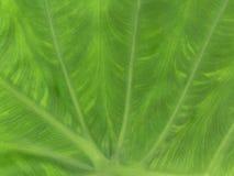 Großes grünes Blatt Stockfotografie