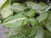 Großes grünes Blatt der Caladiumanlage mit weißen Adern Stockbilder
