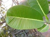 Großes grünes Blatt indischen kino Baums Stockbild