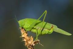 Großes grünes bushcricket/Tettigonia Viridissima Lizenzfreie Stockfotos