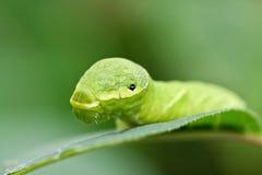 Großes grünes Gleiskettenfahrzeug (Papilio dehaanii) Lizenzfreie Stockfotos