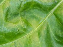 Großes grünliches Blatt Stockfotos